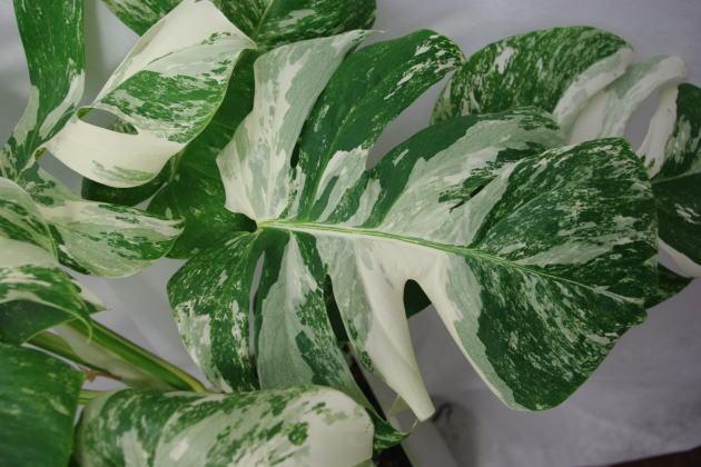 希少観葉植物 斑入りモンステラ